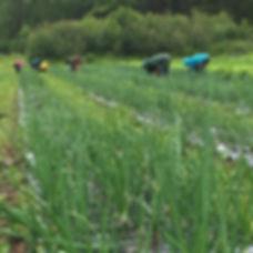field crew weeding onions in rain.jpg