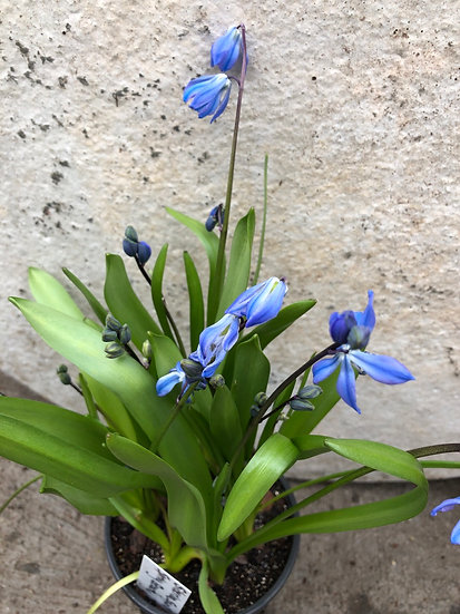 Siberian Squill Spring Beauty