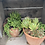 Thumbnail: Succulent Trio