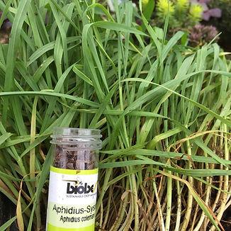 Aphidius bottle in Taj web.jpg