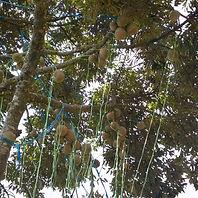 Durian farm in Malaysia