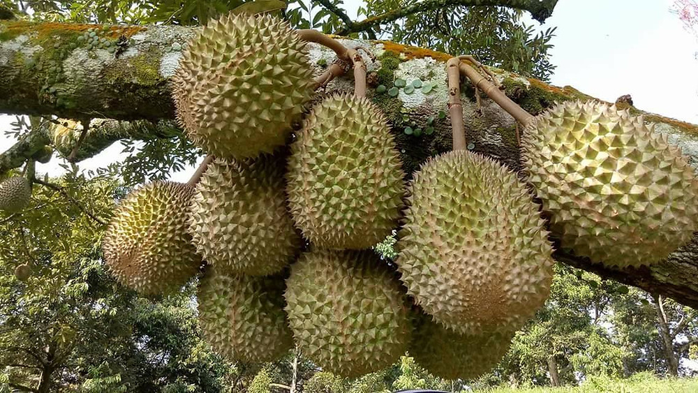 Durian harvest May 2020