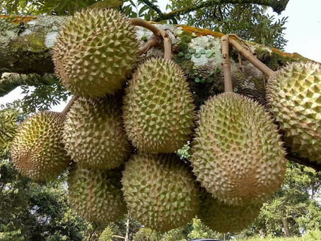 Durian prices to fall substantially this season in May 2020.