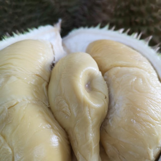 D24 durian or XO