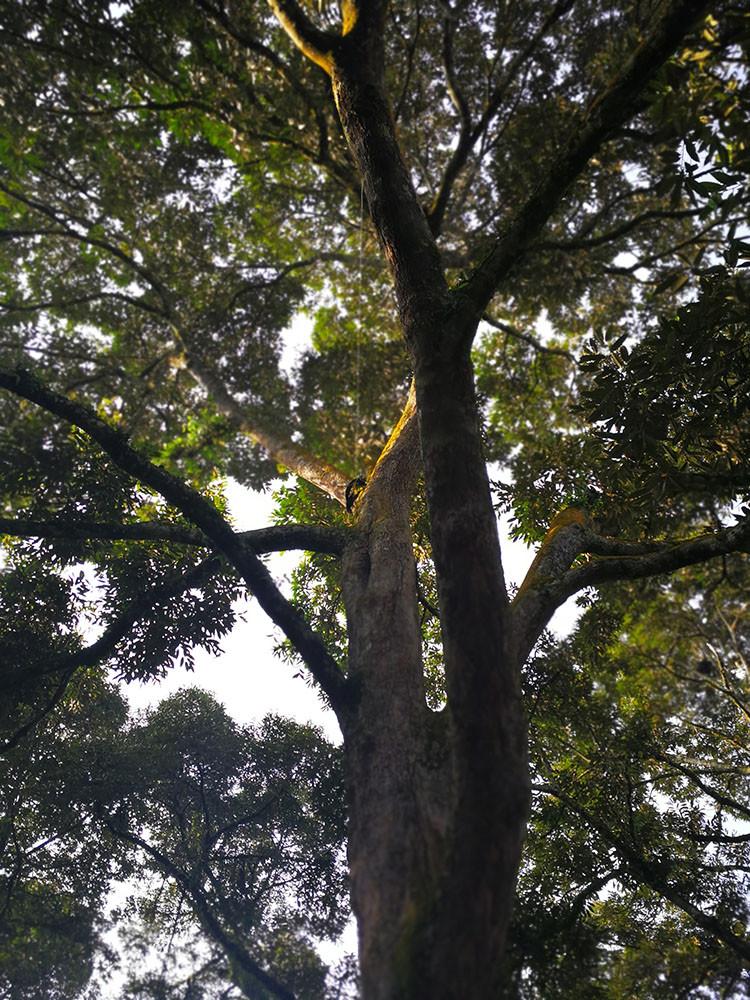 Mao Shan Wang Tree