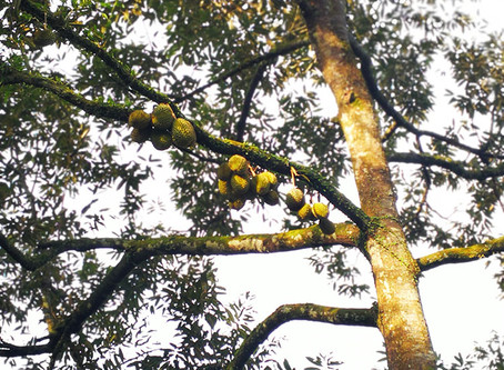 The Biggest Musang King Tree in Malaysia