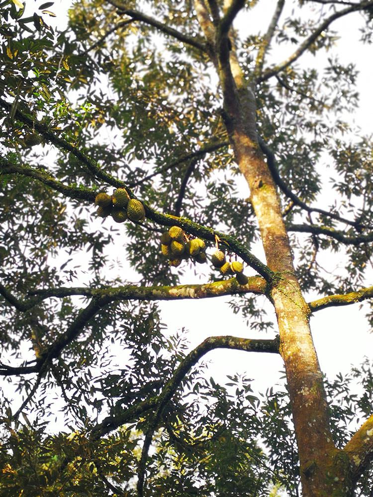 Musang King tree