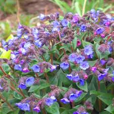 Adding colour to your shade garden with Lungworts