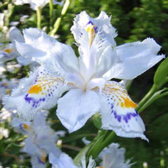 Iris japonica varigata