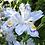 Thumbnail: Iris japonica varigata