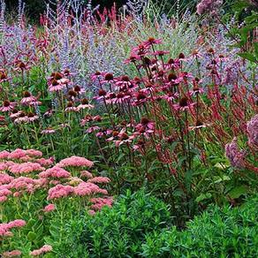 Purple Passion in the Autumn garden