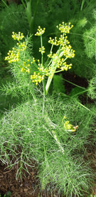 Fennel in the sunlight!