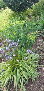 Blue bells and Euphorbia