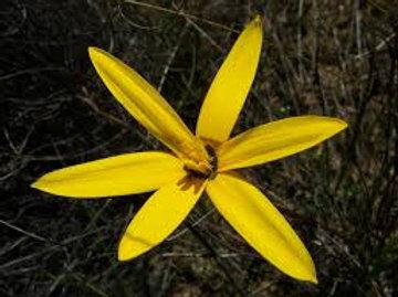 Spiloxene Capensis(Pauridia capensis)