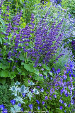 Salvia verticulata