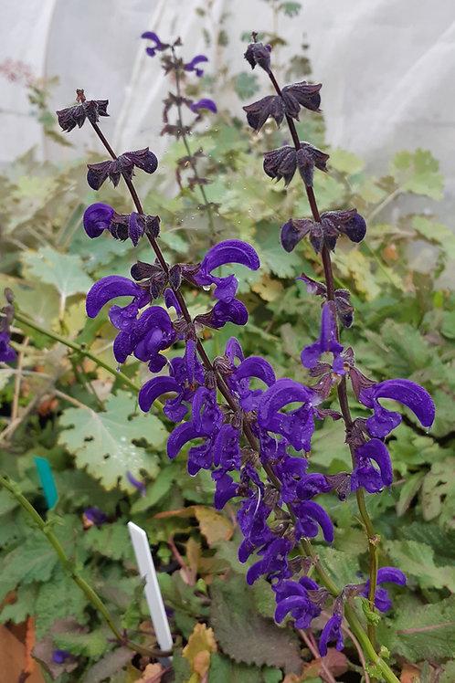 Salvia pratensis'Twilight'