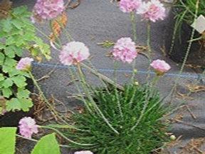 """Armeria pseudoarmeria """"Large Flowered Pink"""