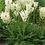 Thumbnail: Filipendula vulgaris
