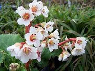 Bergenia ligulata