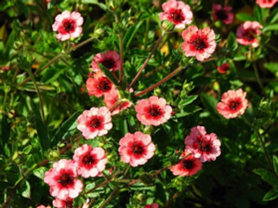 Potentilla nepalensis'Miss Willmott'