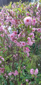 Ornamental  Flowering Almond