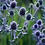 Thumbnail: Eryngium planum