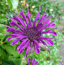 Bee balm for late summer flowering