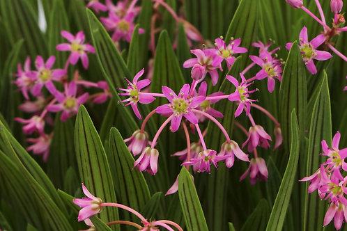 Scilla cooperi( Ledebouria cooperi)