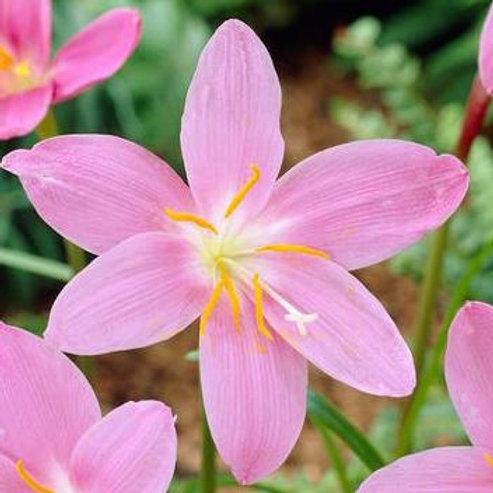 Habranthus robustus 'Pink Rain Lily'
