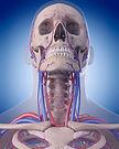 the-circulatory-system---neck-486788190_