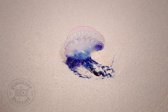 Jellyfish, Bermuda