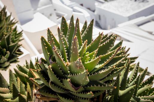 Cactus in Oia