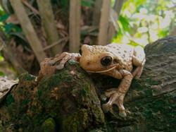 Pepper tree frog