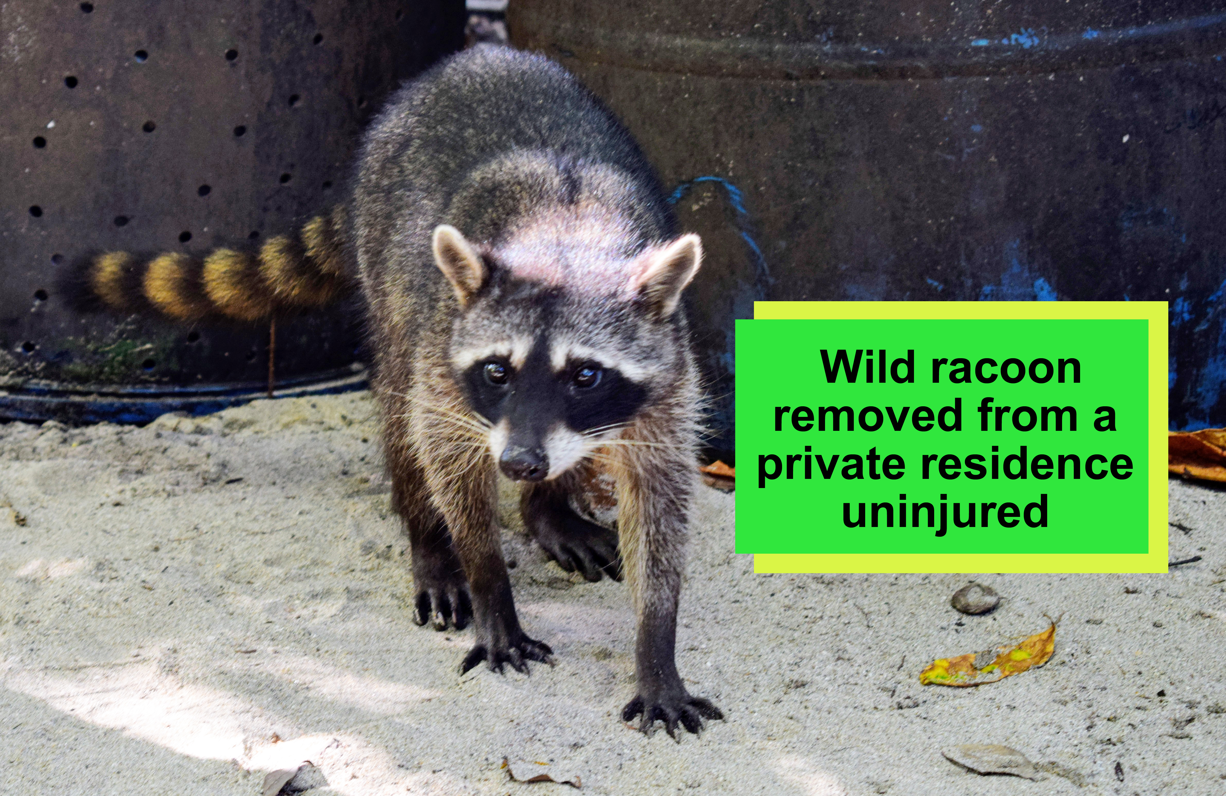 Racoon-text