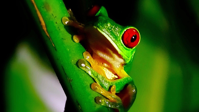 red eyed leaf frog_edited_edited