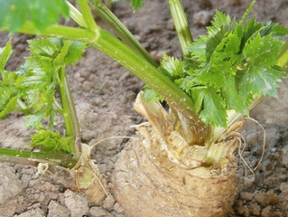 Zeller - az egyik fontos védőnövény