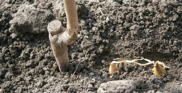 Hagyma ültetés
