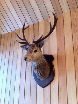 Stag's head