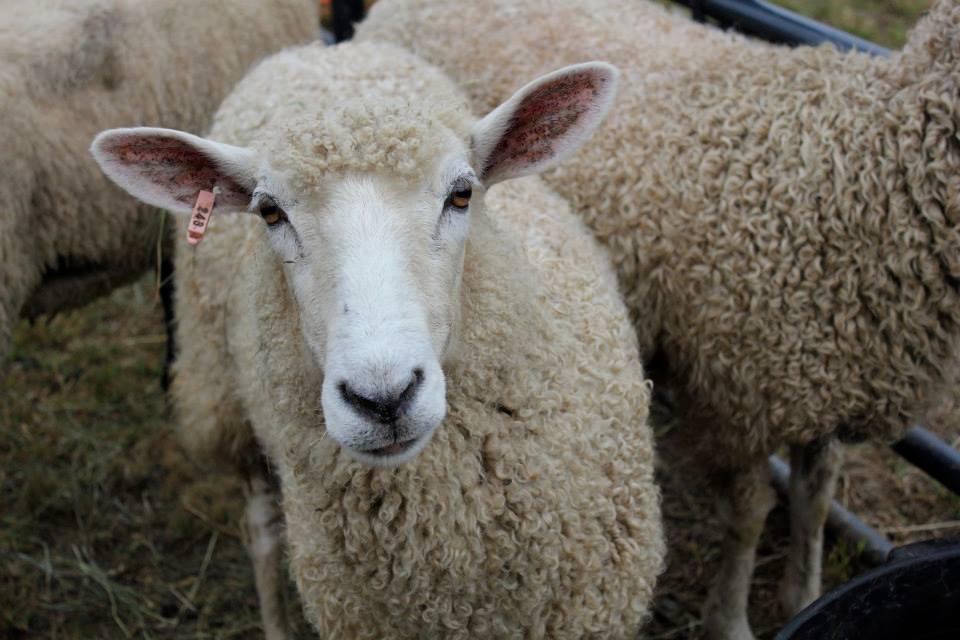 Livestock Show Springfield Maine