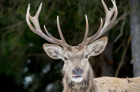 Other Deer