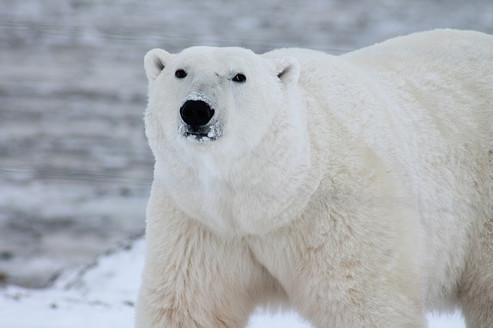 Grizzly/Polar Bear