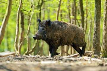 Wild Hogs & Javelina