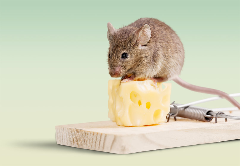 Mouse trap with cheese and mouse on back