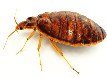 Are Bedbugs Common In The UK?