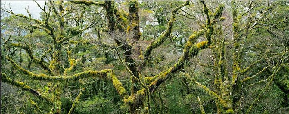 photograph mounted on dibond aluminum titled Mossy Beech Trees by artist steven friedman.