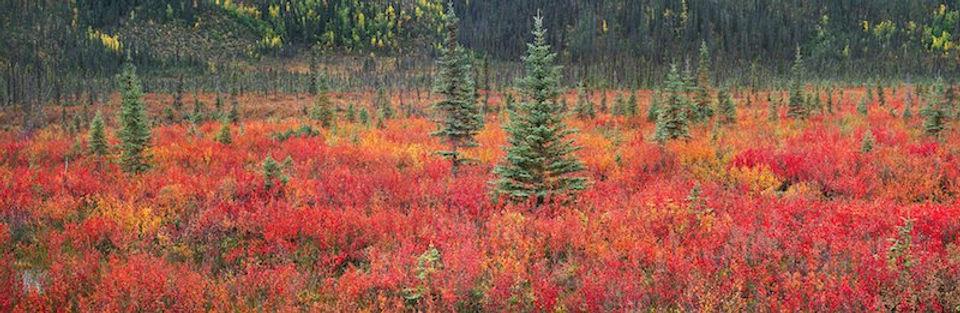 photograph on dibond aluminum titled Dwarf Birch and Black Spruce by artist steven friedman.