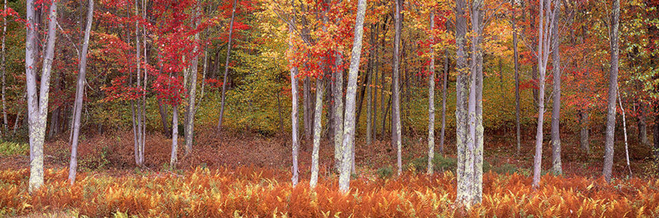 photograph on aluminum titled Glorious Ferns and Maples by artist steven friedman.