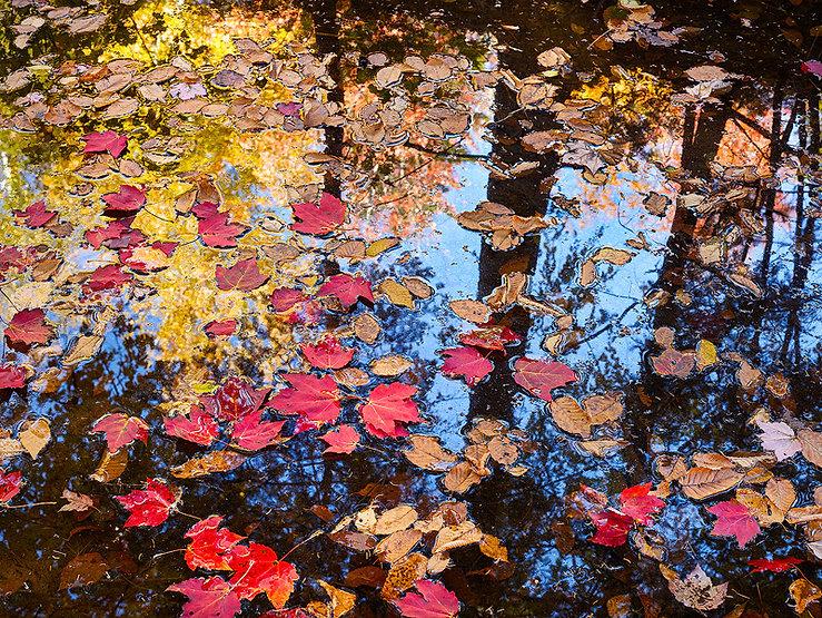 photograph on aluminum titled autumn leaves by artist steven friedman.