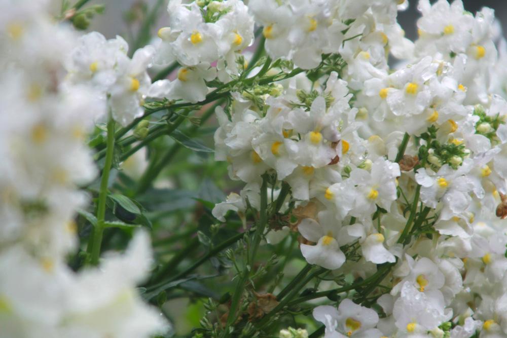 Gruppe von weißen Blüten