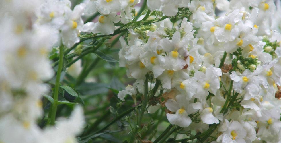 Enmasse Elegance - WHITE